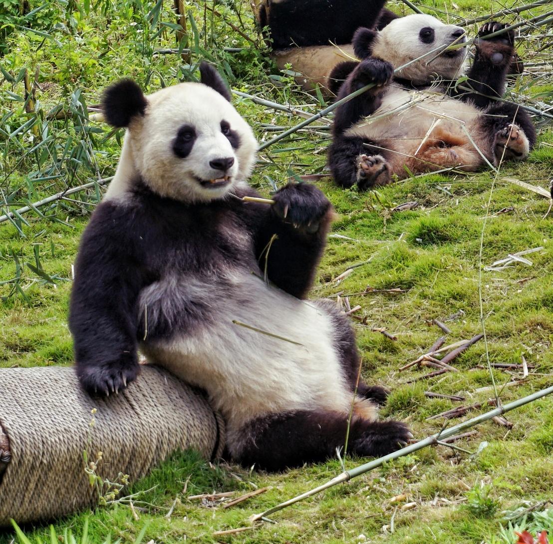 Panda Volunteers